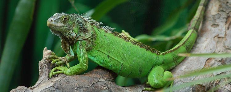 Las iguanas son un animal de compañía muy peculiar