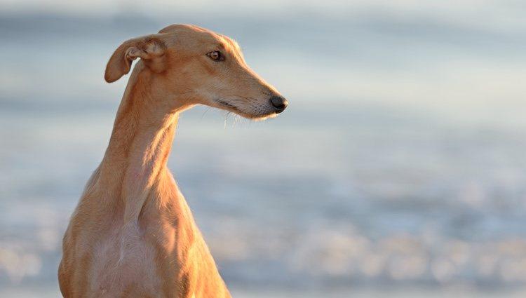 Perro de la raza Galgo
