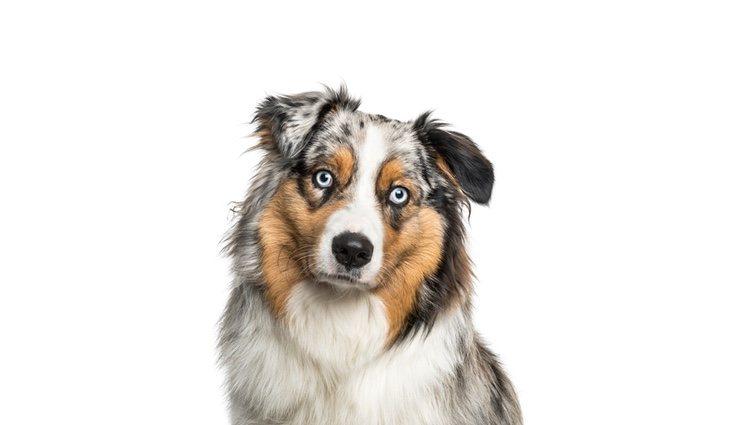 Perro de raza Pastor ovejero australiano
