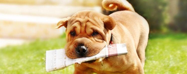 Los Shar Pei presentan pliegues por todo su cuerpo, sobre todo de cachorro
