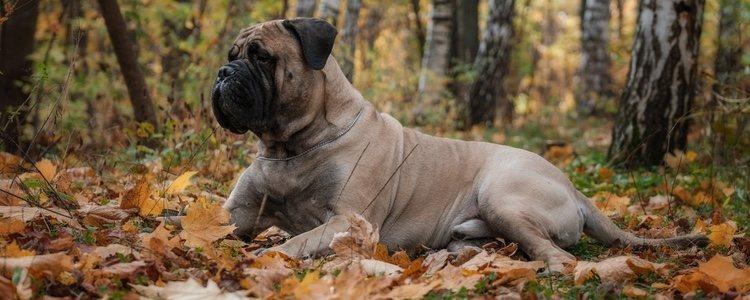 Se utilizó como perro de pelea en el siglo XVII y es considerado un símbolo de Reino Unido