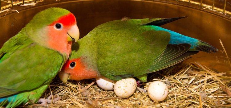 Las crías de agaporni son igual que un bebé durante los primeros meses