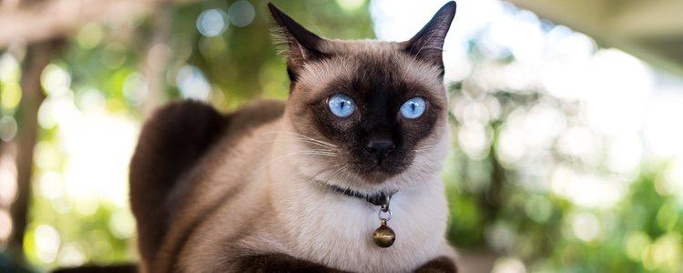 El Gato Siamés puede sufrir enfermedades respiratorias