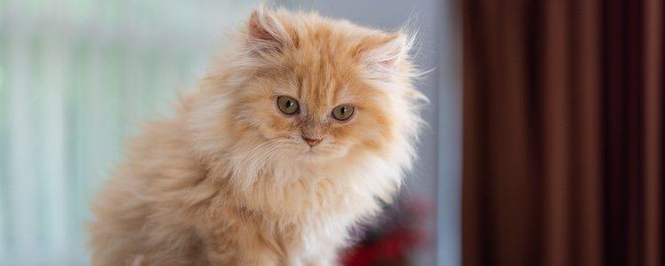 Este felino tiene tendencia a padecer enfermedades renales