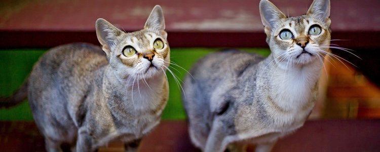 </p><p>Es recomendable que este felino acuda una vez cada seis meses al veterinario