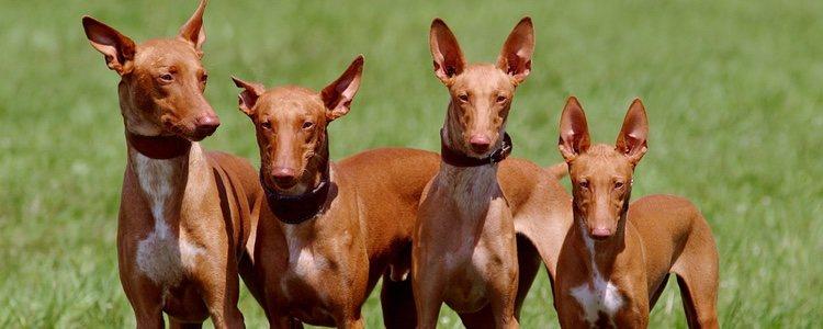 La estatura media de esta raza suele rondar entre los 50 y 60 centímetros
