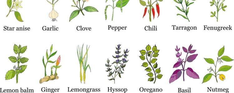 Las plantas aromáticas como el cilantro o la menta deben de ser ingeridas en pequeñas cantidades