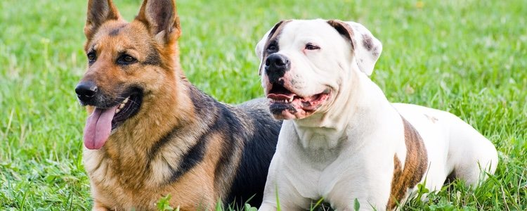 Los perros con estos genes de displasia de cadera podría o no desarrollar la enfermedad