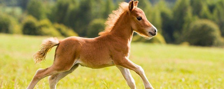 Caballo en miniatura marrón cabalgando