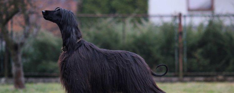 En sus orígenes se utilizaba como perro para pastar