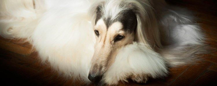 Es un perro independiente y orgullo, pero noble y alegre