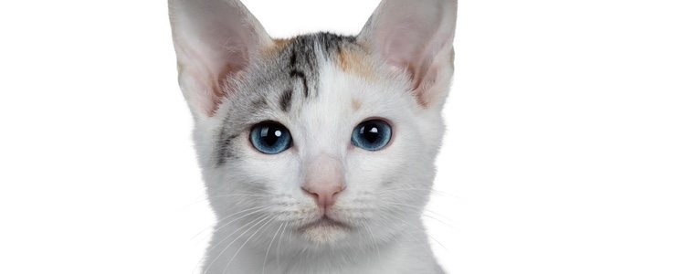 El Bobtail japonés es un gato muy sociable, juguetón y cariñoso