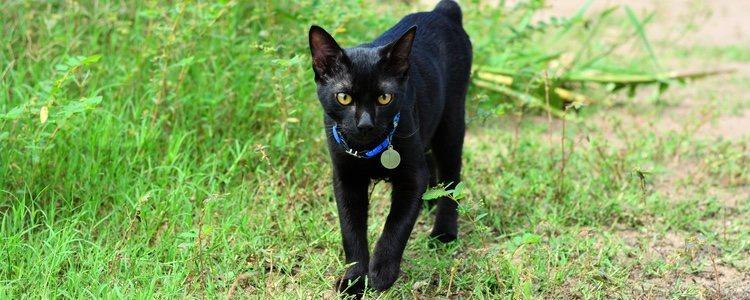 El Bobtail japonés es un gato curioso, activo y al que le gusta jugar