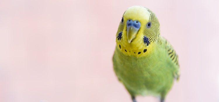 A través de las plumas te puedes enterar si le pasa algo a tu mascota
