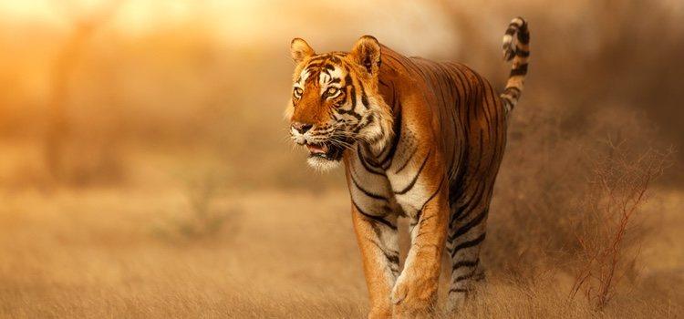 Algunos de los animales exóticos que no puedes adoptar son los tigres