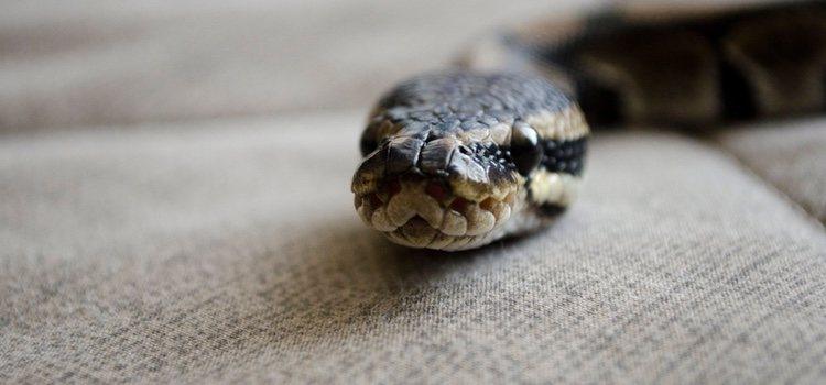 Uno de los animales exóticos que puedes adoptar es una serpiente