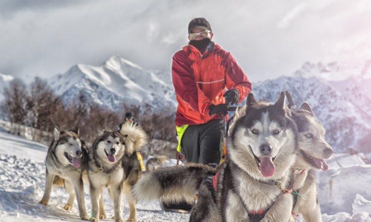 Varios Alaskan Malamute tirando de trineo
