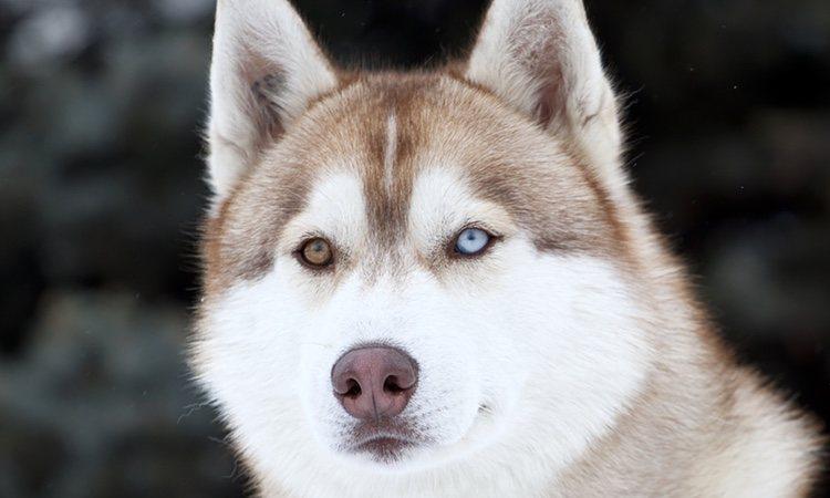 Husky Siberiano con heterocromía