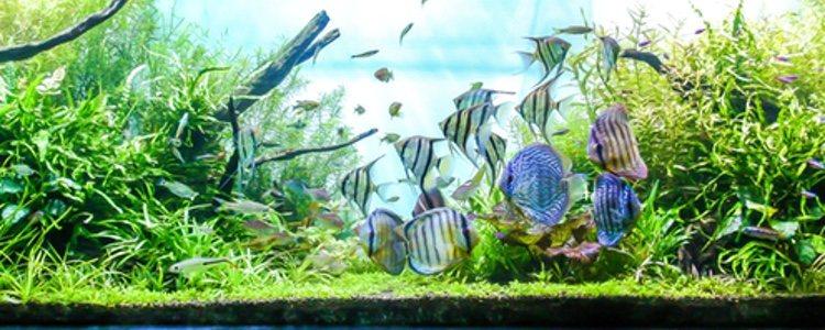 El acuario debe estar adecuado con plantas para que se sienta a gusto