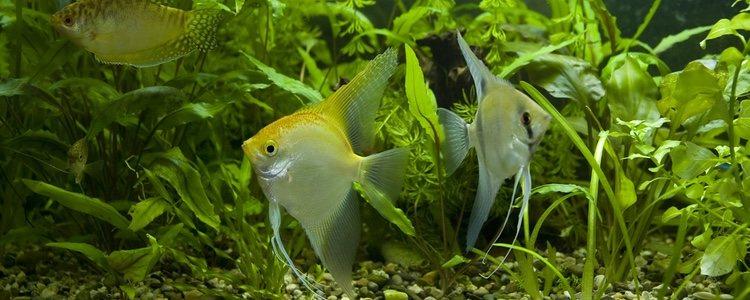 El pez gurami es omnívoro por lo que se puede alimentar de las plantas del acuario