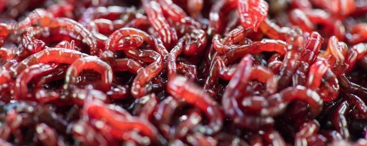 Puede comer alimentos vivos como las larvas o gusanos</p><p>