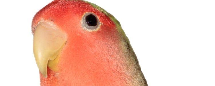 Su plumaje es verde y rosa anaranjado