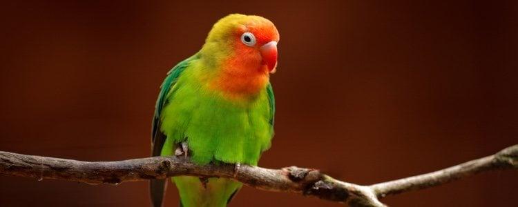 El color de su cola es verde