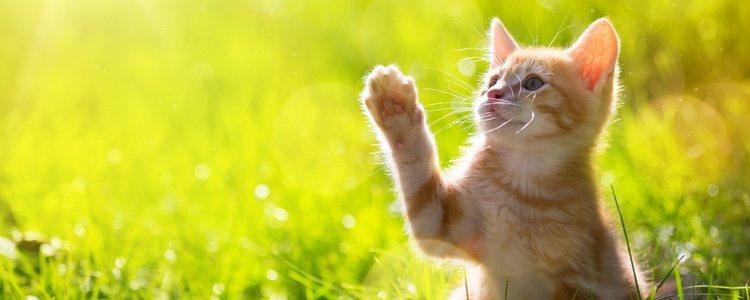 La Orquitis es uno de los problemas que pueden padecer los gatos