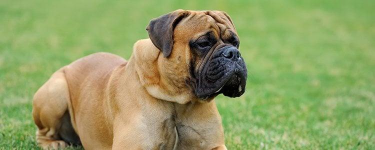 Los perros de pelo corto son más propensos a sufrir acné