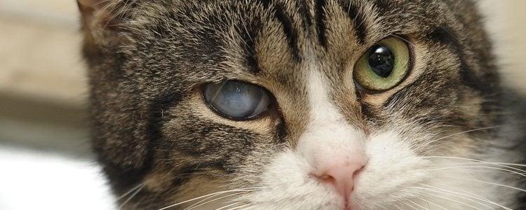 La mayor parte de los gatos no muestran signos de cataratas en sus ojos