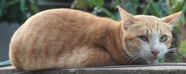 El principal síntoma es la aparición de una mancha gris azulada en la pupila del gato