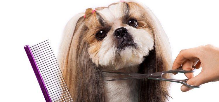 Cuidados de pelo para el Shih Tzu