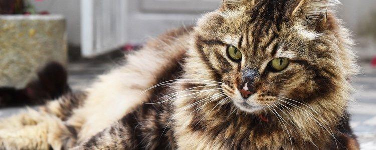 Los gatos criollos se caracterizan por su independencia