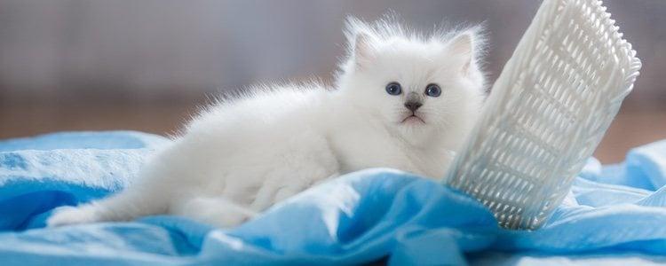 Los gatos Ragdoll no son muy juguetones, pero son perfectos para los niños más tranquilos