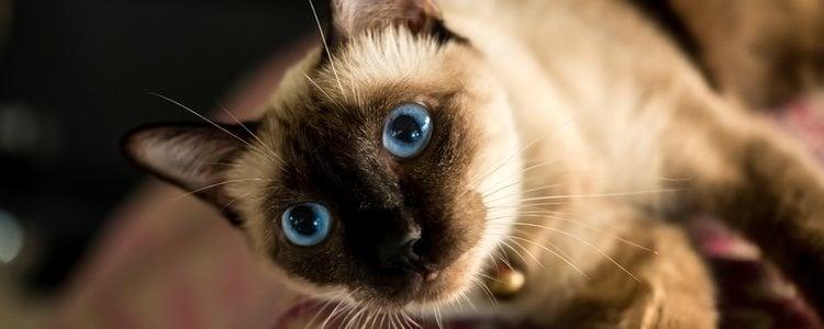 A los gatos siameses les encanta ser el centro de atención, por lo que ellos mismos buscarán a los niños