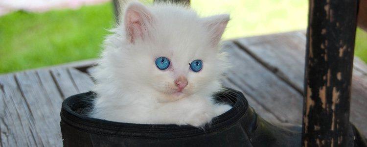 Los gatos de angora son leales, inteligentes y le gusta vigilar todo lo que ocurre a su alrededor