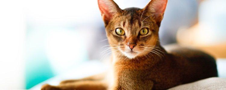 Los gatos abisinios son unos animales muy activos y juguetones