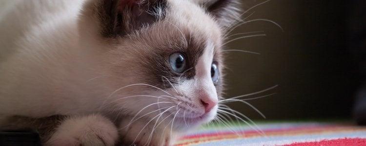 Los gatos snowshoe son la raza más calmada y paciente, por lo que adoran los mimos