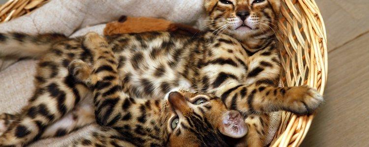 El gato de Bengala contrae enfermedades y es caro