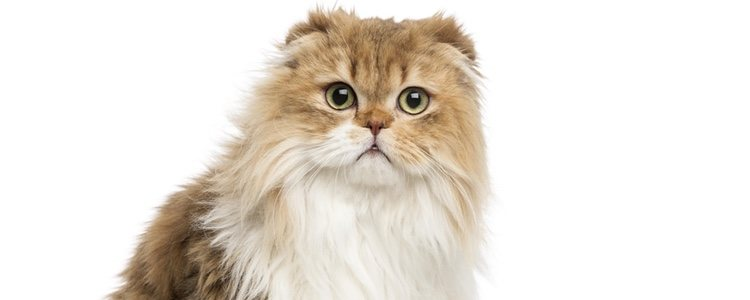 Esta raza se caracteriza por sus ojos grandes y las orejas plegadas