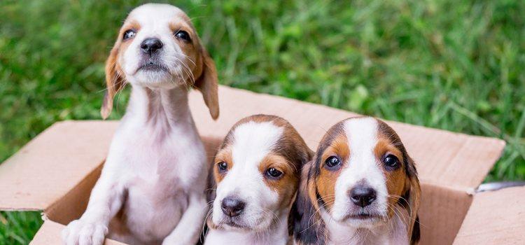 Los perros pequeños son más propensos a las enfermedades