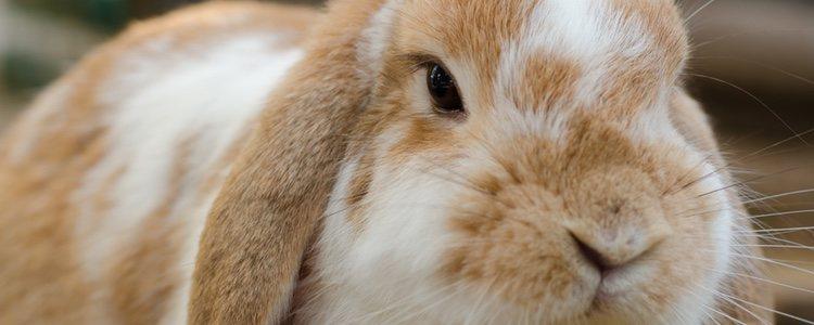 Existen conejos Holland Lop manchados tricolor