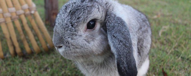En la alimentación de los Holland Lop no puede faltar nunca el pienso para conejos