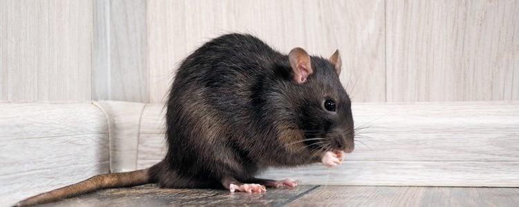 El embarazo de una rata dura entre 21 y 23 días