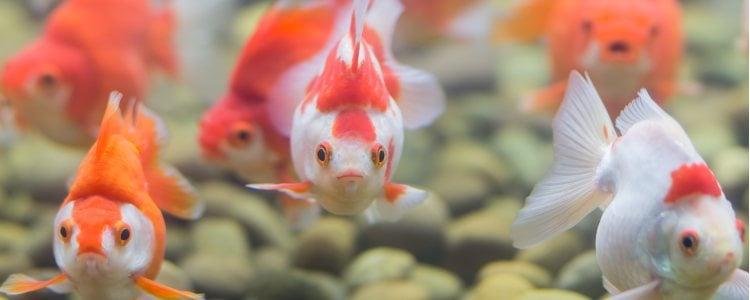 Los síntomas de la vejiga natatoria de los peces son claros