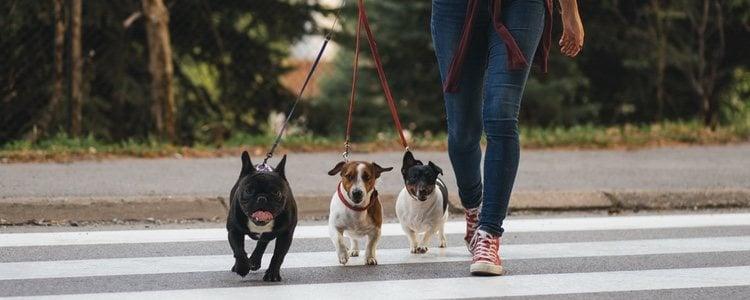 Debes enseñar a tu perro a caminar junto a ti