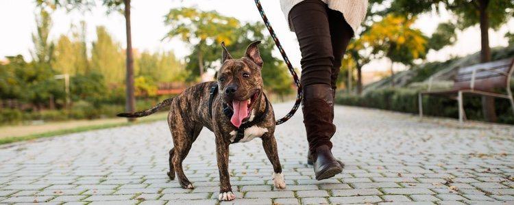 La correa nunca debe ir en tensión, si el perro se adelanta para en seco