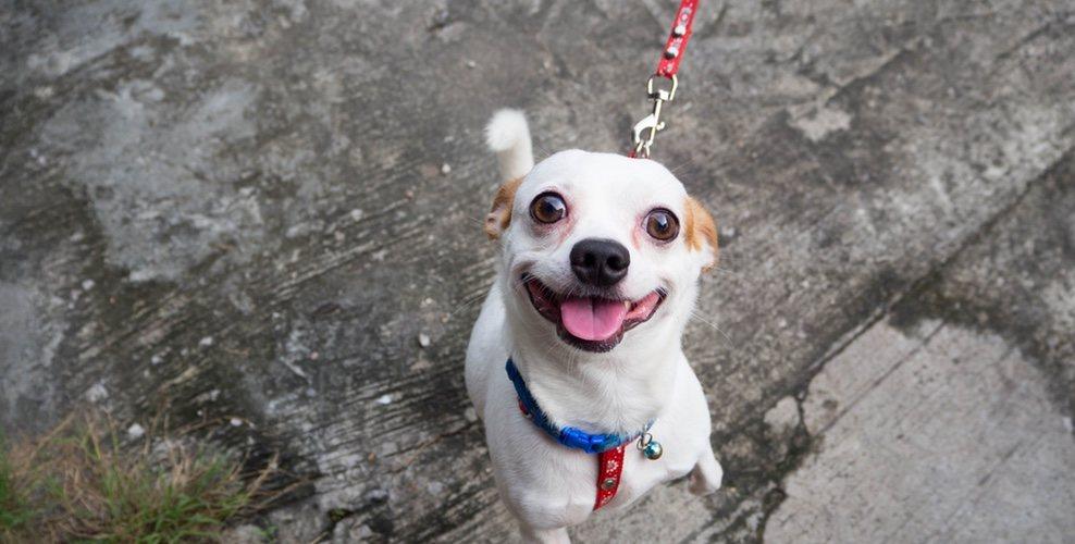 Es importante que el perro aprenda a pasear correctamente desde el principio