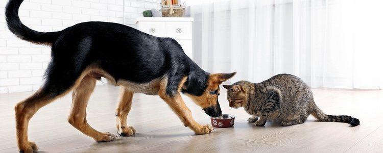 El orden alimenticio de los perros y los gatos es el principal argumento en contra