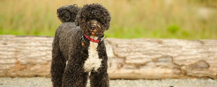 El perro de agua portugués tiene una capa de pelo que es totalmente impermeable